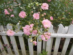 """Rose """"The Fairy"""" in The Thatched Cottage Garden (justmecpb) Tags: flowers summer newyork rose gardens estate longisland fairy mansion goldcoast the thatchedcottage oldwestburygardens cottagegarden oldwestbury thefairy"""