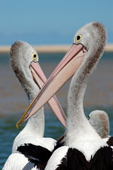 Pelicans at The Entrance (AussieDingo) Tags: pelicans birds dof bokeh nsw theentrance centralcoastnsw