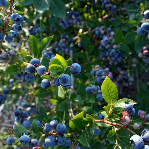Blueberry bush ...