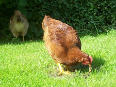Early Bird (DrSlippers2007) Tags: uk england urban pet pets bird chickens chicken home birds self garden backyard gardening eating flock lancashire blackburn breeding poultry warren poule worm breed oiseau coq poulet feathered bande robinet poussin volaille sufficiency oldenglishgame myfolia