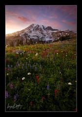 Garden Of Light (Ryan Dyar) Tags: sunset summer mountain backlight washington nationalpark paradise meadows mountrainier wildflowers ryandyar