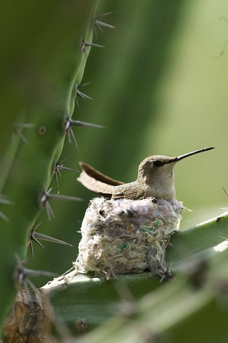 hummingbird and nest 2