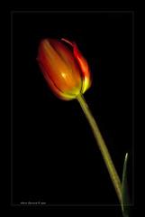 tulipano (Andrea Rapisarda) Tags: lightpainting flower best tulip bestofthebest tulipano platinumphoto nikond40 theunforgettablepictures goldstaraward andrearapisarda cffaa