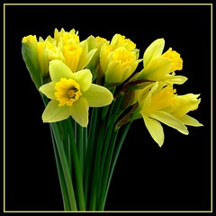 St David's Day Daffodils (Vanda's Pictures) Tags: flowers yellow wales petals bravo vanda daffodils stdavidsday