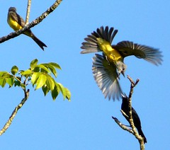 Air raid!!! (land.nick) Tags: nature birds 1001nights pssaros ataque amazonia airraid digitalcameraclub aplusphoto theperfectphotographer flickrestrellas 100commentgroup ataqueareo