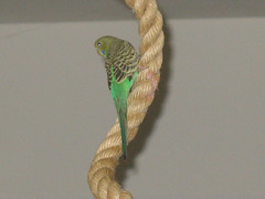 Xander- The Extreme Budgie (flyingfluff) Tags: cute budgie parakeet flyingfluff