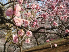 DSC07879.JPG (chinitanglatina) Tags: flowers nature japan spring ome ume yoshino plumblossoms umematsuri