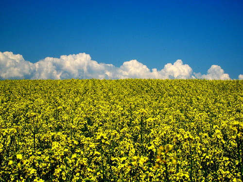 Clouds and Rapeseed