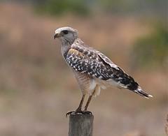 Florida Red-shouldered Hawk (sub-species) (hank the elder) Tags: florida bokeh hawk redshoulderedhawk redshouldered buteo buteolineatus okaloacoocheesloughstateforest