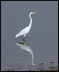 Great White Egret (Ardea alba) spotted in Ranthambore National Park, India (Saran Vaid) Tags: india white lake bird nature water beautiful fauna bill asia wildlife indian birding beak feathers large reserve sigma waterbird safari exotic national tropical tall common habitat soe sanctuary greategret rajasthan ranthambore greatwhiteegret ranthambhore ardeaalba yellowbill ranthambhor flickrsbest commonegret bej abigfave platinumphoto canoneos450d theunforgettablepictures overtheexcellence sigma150500 vosplusbellesphotos thewonderfulworldofbirds sigma150500mmf563dgoshsm flickraward expressyourselfaward