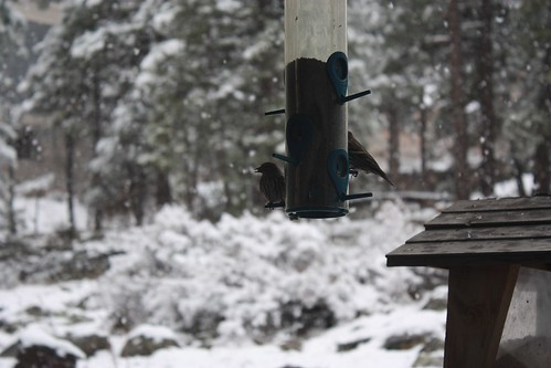 April Snow and Pine Siskins