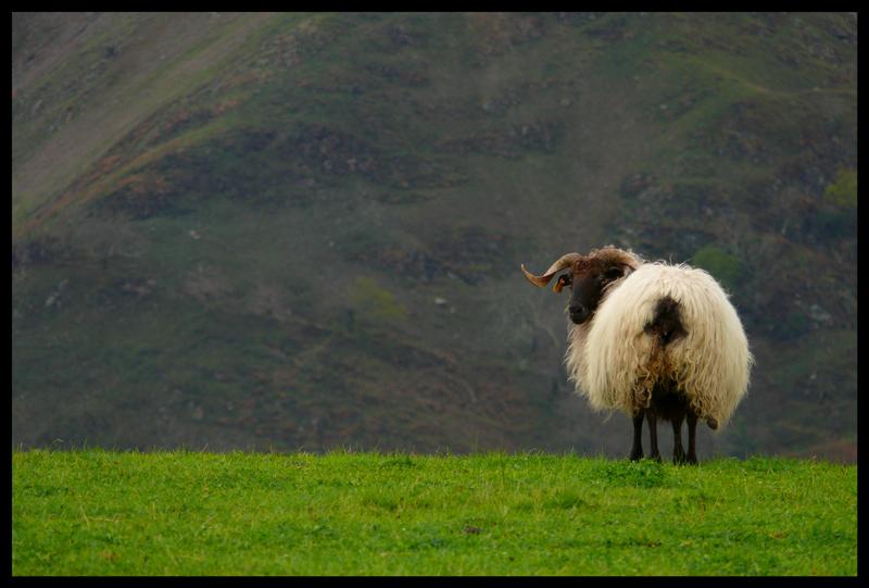 Bélier ou brebis, en tous cas c'est un mouton ! 3434545169_fc48150f2b_o