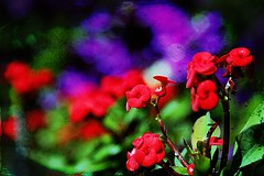 Colourful blooms (@Doug88888) Tags: pictures uk red wallpaper vacation england holiday plant flower color colour green art nature digital canon easter geotagged happy eos photo spring saturated colorful europe purple bright image blossom bokeh awesome united picture gimp kingdom images best photograph excellent buy bloom layer colourful blooms dslr 2009 purchase 400d doug88888