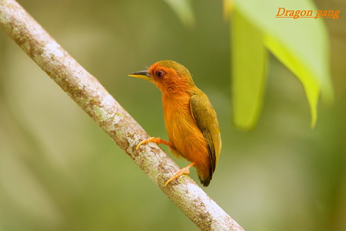 Rufous piculet .only 8 cm. by dragon_pang.
