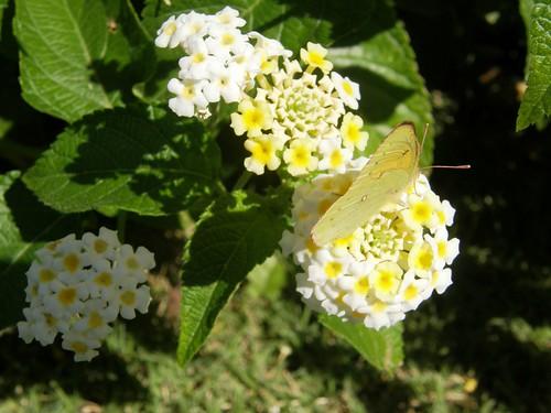 lantanas con mariposa 2