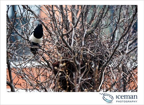 Magpies 005