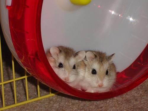 Robo dwarf hamster sleeping