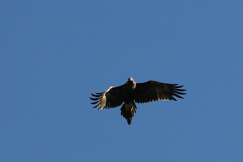 Wedge-tailed Eagle (Aquila audax). There was a pair of these majestic birds flying low over fields at Kangaroo Flat, Victoria. They perched in a tree for a while and then took off and circled right over my head. I love the way that the eagle is looking at me...