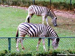 Zebras em perspectiva (guilherme.tirado) Tags: cores lago fotos animais tartaruga elefante arara jacaré zoologico penas girafas araraazul micoleãodecaradourada pretoeazul teztura zebrasemperspectiva pelospretoeazulgirafaselefanteararaazulmicoleãodecaradouradalagojacarétartarugazebrasemperspectivazoologicoanimaisfotoscorestezturapenas