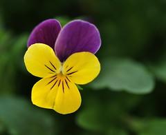 purple, yellow, green