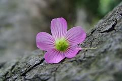 DSC01816 (lucia_fr.) Tags: flower nature douban