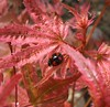 harlequin spectabilis ladybird on Acer