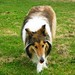 Nàdia - Rough Collie