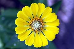 feel me (xeno(x)) Tags: blue flower macro art nature yellow canon garden asia zen zinnia 2008 xeno 40d overtheexcellence daarklands