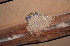 Bbs hirondelles (laurent KB) Tags: baby swallow bb schwalbe andorinha  rondine