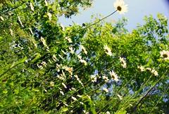 Skyward Daisy (Fredane Photo) Tags: flowers nature niagra falls daisy upshot