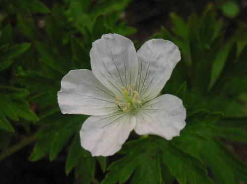 G. yesoense forma ochroleucum Okuyama