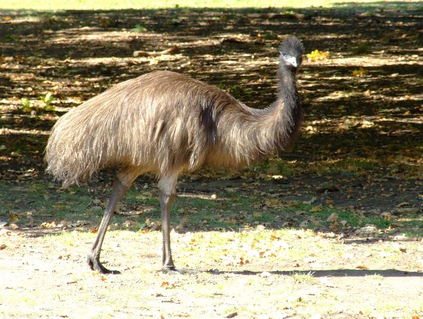 one emu