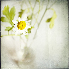 * (miu37) Tags: stilllife flower vintage minimal retro myroom grdii creamoffugu hourofthesoul sabtraction abitholidaybetweenharddays texturelesbrumesmyoriginal