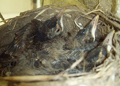 Baby Robins (June 23 2009) (JRBooth) Tags: ohio nest robins hatchlings babybirds