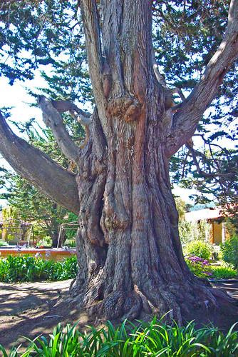 Carmel Mission Tree