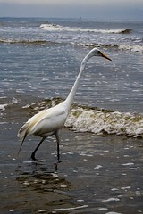 Great Egret (Karen Cox.) Tags: ocean summer bird beach water georgia golden great creative moment egret isles stsimonsisland creativemoment