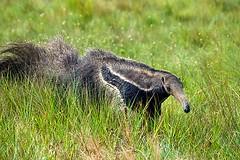 Tamandu-bandeira (Delfim Martins) Tags: fauna natureza cerrado parquenacional parna patrimniodahumanidade bioma tamandubandeira regiocentrooeste acoval