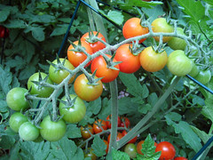 marcellino tomatoes on the vine