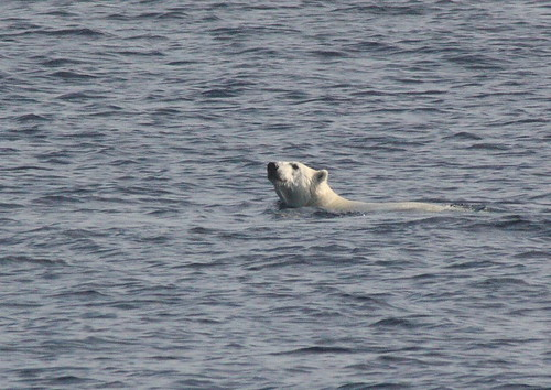"""polar bear swimming in the middle of the Beaufort Sea"""
