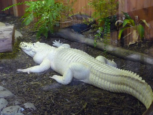 white alligator.
