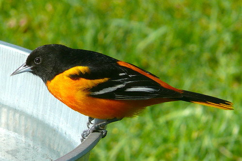 Baltimore Oriole by .Larry Page, on Flickr