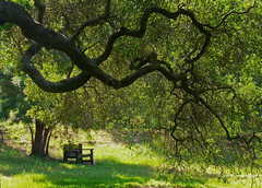 A bench in the shade (Quercus agrifolia) (nowhereonearth) Tags: california old sun tree green public grass forest woodland garden bench wooden big oak branches lawn restful meadow foliage evergreen shade winner spacious photocontest inviting allrightsreserved springtime californianative grassy prizewinner descansogardens 2011 lacanadaflintridge fagaceae contestwinner quercusagrifolia 2ndplace coastliveoak janeauerbach nationalpublicgardensday janeauerbach pleasedonotcopyrepostorreproducephotowithoutthephotographerspermission