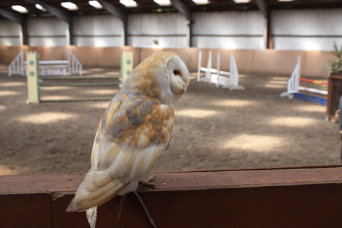 Tommy the Barn Owl strutting his stuff