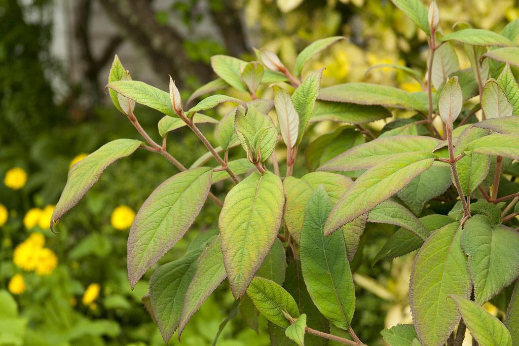 mystery shrub 2