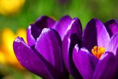 Purple focus  spring crocus (kees straver (will be back online soon friends)) Tags: park flowers orange white flower macro nature grass amsterdam yellow canon garden eos spring focus purple bokeh crocus violett keesstraver doublyniceshot 5dmarkii