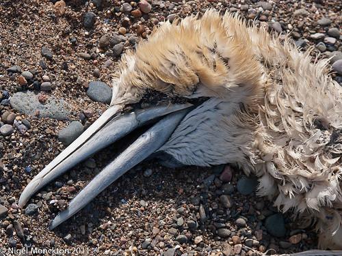 1000/476: 11 June 2011: Dead Gannet by nmonckton