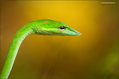 Green vine snake... (Sandeep Somasekharan) Tags: green yellow nikon rainforest reptile wildlife halo 300mm nikkor agumbe greenvinesnake d300s