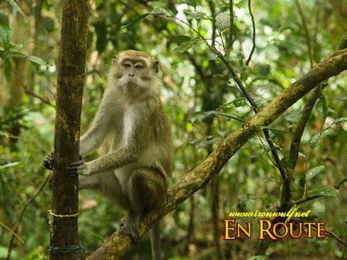 Bud Bongao Macaque