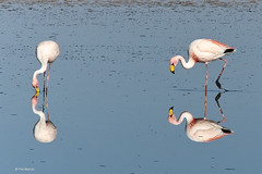 flamingos feeding - Los Flamencos National Reserve (Phil Marion) Tags: chile travel boy vacation woman hot sexy love girl beautiful beauty sex canon naked nude fun photo raw phil nu candid marion nackt explore atacama andes xxx salar  altiplano nudo sanpedrodeatacama desnudo saltflat  telanjang canon30d schlampe    5photosaday explored  thn alaston    kha platinumphoto   malibog   philmarion
