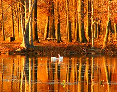 Sunset Glow (Stanley Zimny) Tags: park autumn trees sunset lake reflection tree fall nature water colors leaves birds automne catchycolors leaf colorful colours seasons natural fallcolors autumncolors swans fourseasons autumnal colorexplosion 4seasons naturesfinest rocklandlake mostfav frhwofavs colourartaward top20autumn 100commentgroup